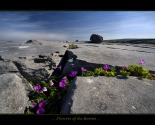 flowers_of_the_burren